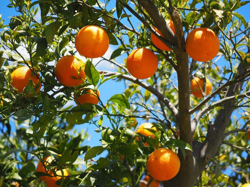 orange growing