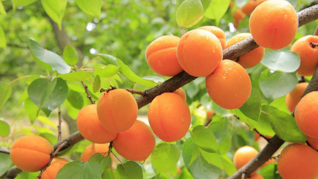 mixed apricots
