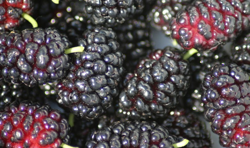 Learning More About Mulberry Tea Benefits