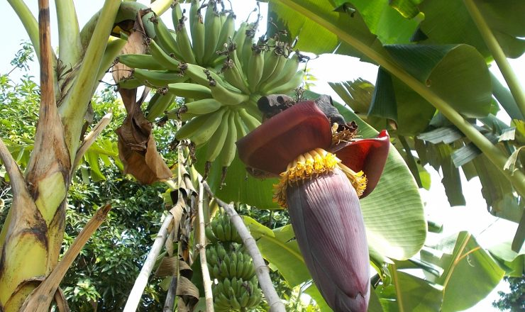 Amazing Health Benefits Of Banana Flowers