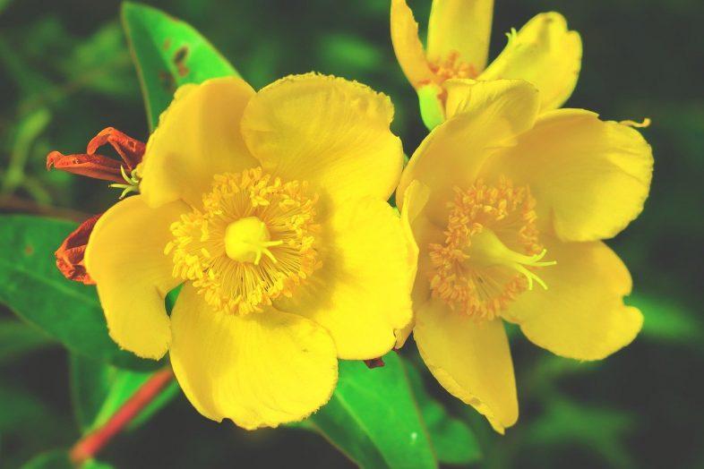 st johns wort flower
